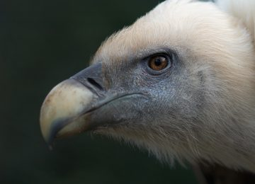 Closeup of a vulture